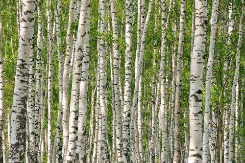 Malerei Horvath - Fototapeten Motiv Bäume & Wald Nr. 3