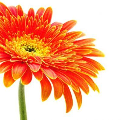 Malerei Horvath - Fototapeten Motiv Blumen Nr. 18