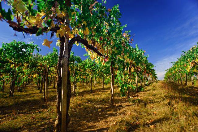 Malerei Horvath - Fototapeten Motiv Wein Nr. 36